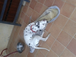 Juliette, chien Dalmatien
