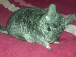 Juliette, rongeur Chinchilla