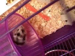 Juliette, rongeur Hamster