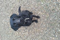 Juliette, chien Labrador Retriever