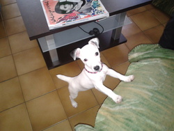 Juliette, chien Jack Russell Terrier