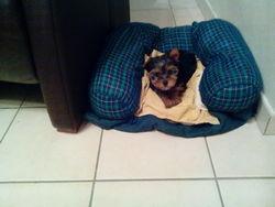 Juliette, chien Yorkshire Terrier
