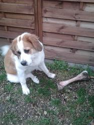 Juliette, chien Saint-Bernard