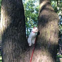 Juliette, chat Siamois