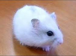 Juliette Rip, rongeur Hamster