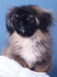 Julio, chien Pékinois