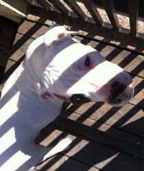Julio, chien Bulldog