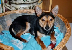 Julius, chien Pinscher