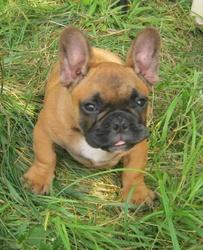 Julius, chien Bouledogue français