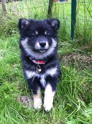 Julius, chien Chien finnois de Laponie
