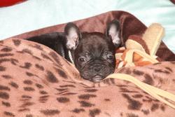Julius Caesar, chien Bouledogue français