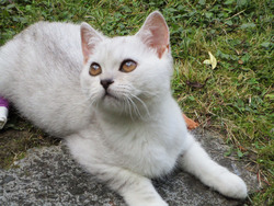 Jumanji, chat British Shorthair