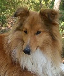 Jumbe, chien Berger des Shetland