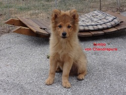 Jumbo, chien Spitz allemand