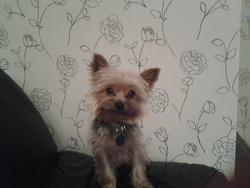 Jumbo, chien Yorkshire Terrier