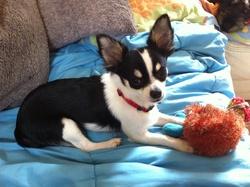 Jumbo, chien Chihuahua