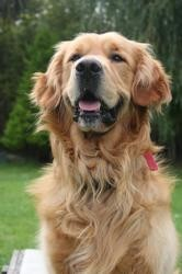 Jump, chien Golden Retriever