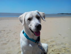 Jump, chien Labrador Retriever
