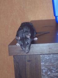 Jumper, rongeur Rat