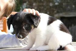 Jumper, chien Jack Russell Terrier