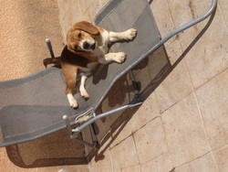Jumper De Mont Joui, chien Beagle
