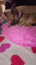 Jumpy, chien Chihuahua