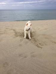 Jun, chien Akita Inu