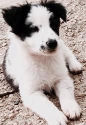 Juna , chien Border Collie