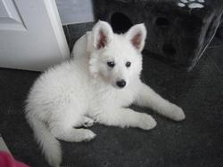 Juna, chien Berger blanc suisse