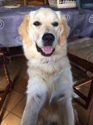 Juna, chien Golden Retriever