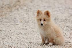 Junah, chien Spitz allemand