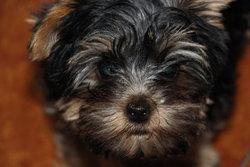 June, chien Yorkshire Terrier