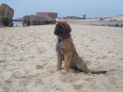June, chien Leonberger
