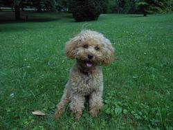 June, chien Caniche