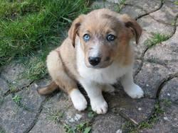 June, chien Berger australien