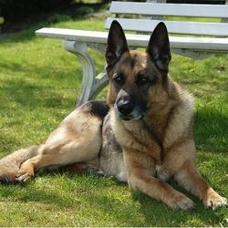 June, chien Berger allemand