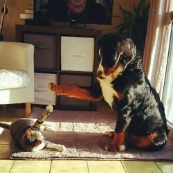 June, chien Bouvier bernois