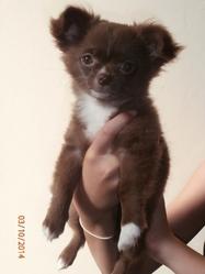 June, chien Chihuahua