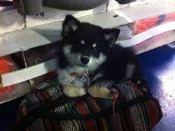 June, chien Chien finnois de Laponie