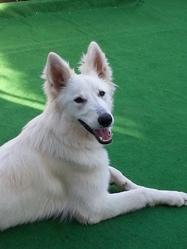 June, chien Berger blanc suisse