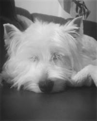 June, chien West Highland White Terrier