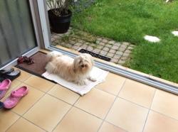 June, chien Bichon havanais