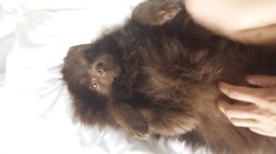 Jungle, chien Spitz allemand