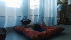 Jungo, chien Shih Tzu