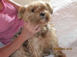Junior, chien Yorkshire Terrier