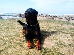 Junior, chien Rottweiler