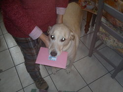Junior, chien Labrador Retriever