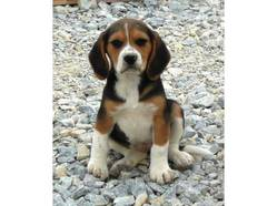 Junior, chien Beagle