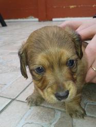 Junior, chien Teckel