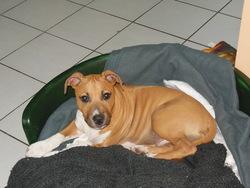 Junior, chien American Staffordshire Terrier